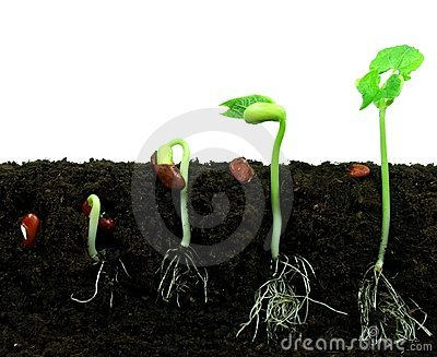 Sequance of germination beans