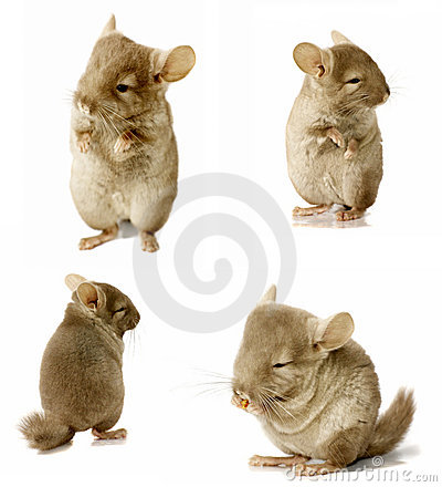 Sequence shot of chinchilla isolated