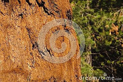 Sequoia bark