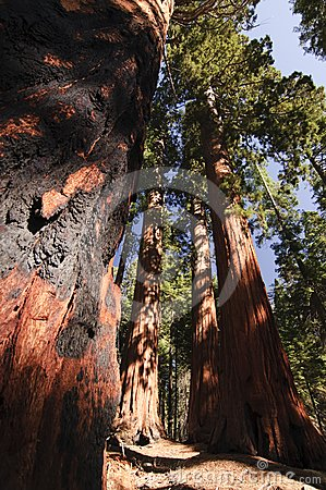 Sequoia with fire