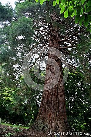 Sequoia (Gigantea) Planted 1876