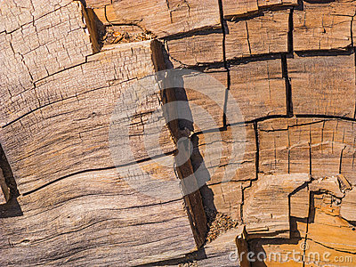 Sequoia tree in detail