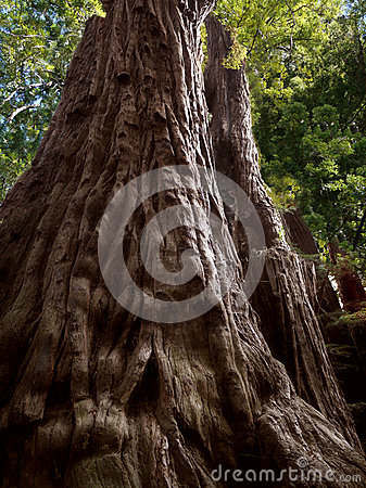 Sequoia tree, Father of the forest