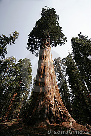 Free Sequoia Tree (HUGE Tree) Stock Images - 5630124