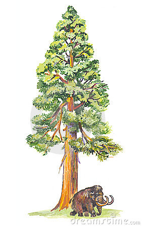 Sequoiadendron (Mammoth tree)