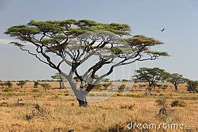 Serengeti ландшафта 027 Африка