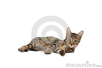 Serengeti kitten