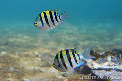 Sergeant major fishes