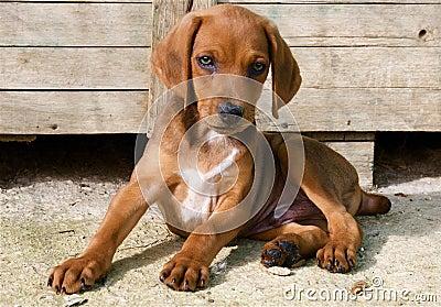 Sergugio Maremmano dog puppy