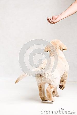 Serie Labrador