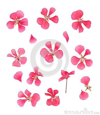 Free Series Dried Pressed Petals Of Flowers Of Delicate Pink Geranium Stock Photography - 105816162