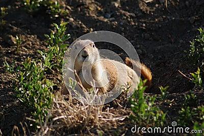 Serious Groundhog