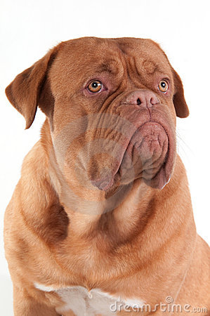 Serious puppy of dogue de bordeaux looking aside