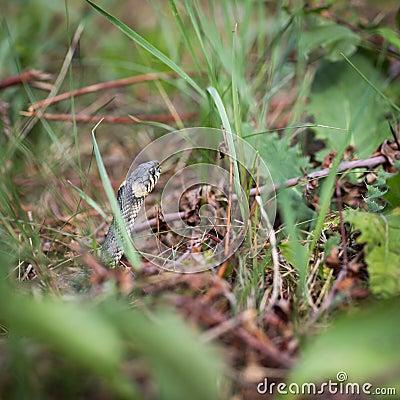 Serpent d herbe