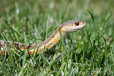 Serpent de jarretière dans l herbe