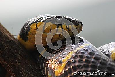 Serpente amarela e preta da cobra