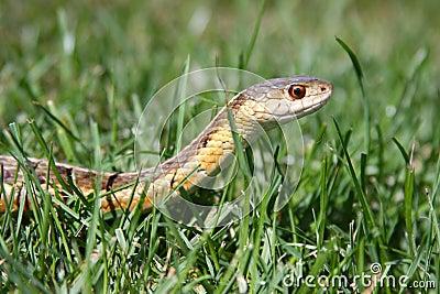 Serpente de liga na grama