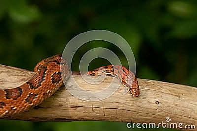 Serpente di cereale arancione fotografia stock immagine - Serpente collegare i punti ...