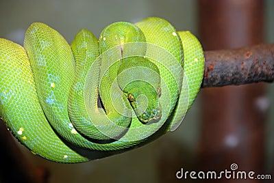 Serpente verde del pitone dell 39 albero viridis di - Serpente collegare i punti ...
