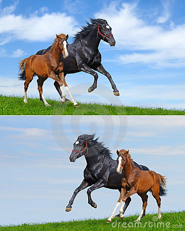 Set - black mare and sorrel foal gallop