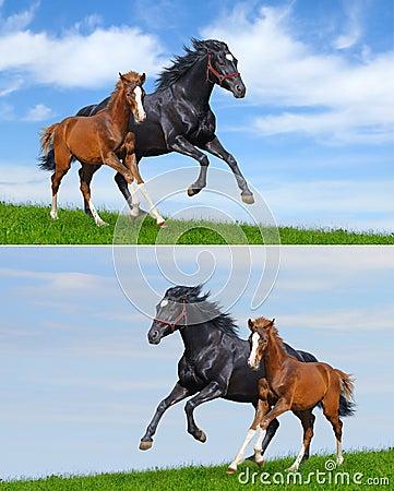 Set - black mare and sorrel foal gallop