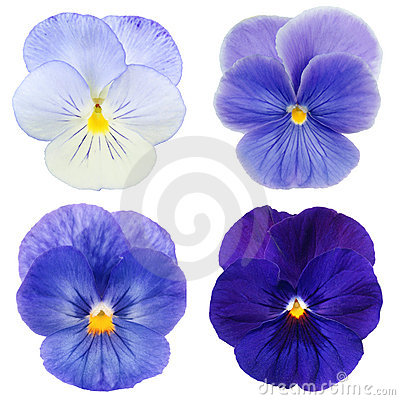 Set of blue pansy