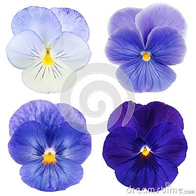 Set of blue pansy