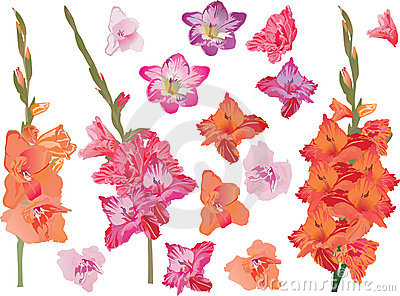 Set of bright gladiolus flowers
