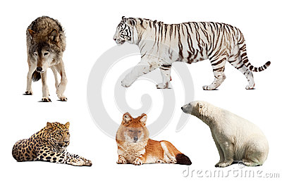 Set of Carnivora mammal