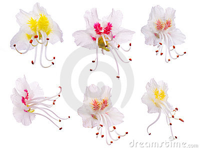 Set of chestnut flowers isolated on white