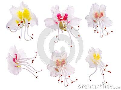 Set of chestnut flowers isolated on white