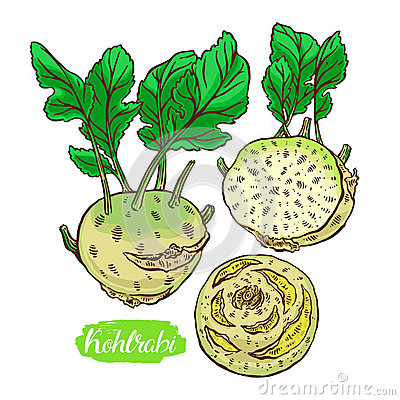 Set of colorful kohlrabi Vector Illustration