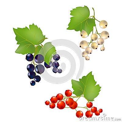 Set currant berries