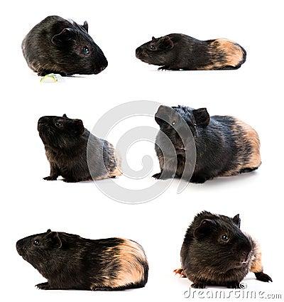 Set of guinea pigs