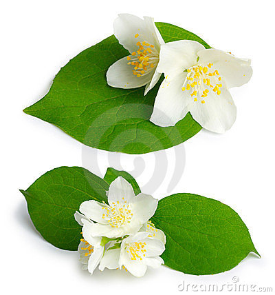 Set of jasmine flowers (mock-orange, Philadelphus)