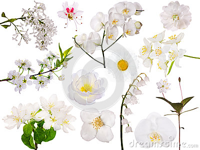 Set of isolated white flowers