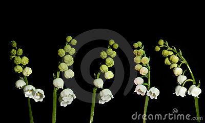 Set of lilies of the valley