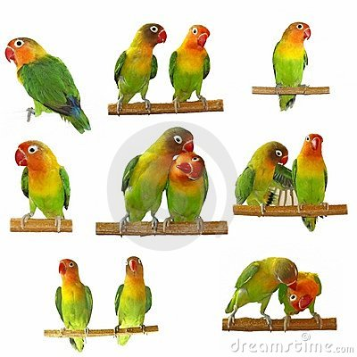 Set Lovebird isolated on white