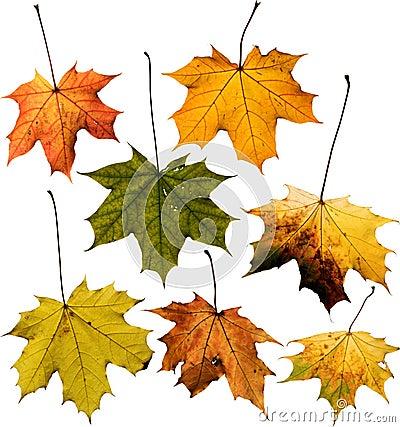 Set of Maple leaf isolated on white