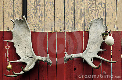 Set of moose antlers