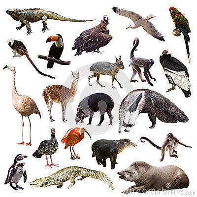 Free Set Of Animals Of South America Over White Background Royalty Free Stock Image - 47367786
