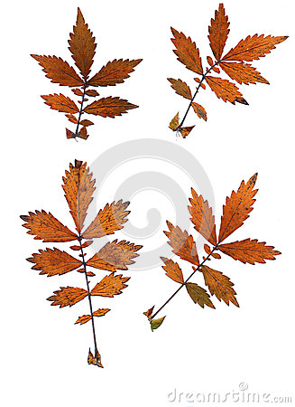 Free Set Of Autumn Leaves Isolated On White Background Stock Photos - 60542003