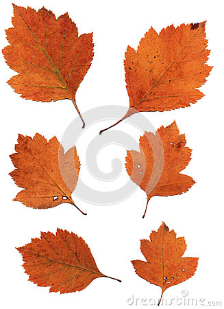 Free Set Of Autumn Leaves Isolated On White Background Stock Photography - 60542032