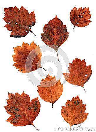 Free Set Of Autumn Leaves Isolated On White Background Royalty Free Stock Image - 60548376