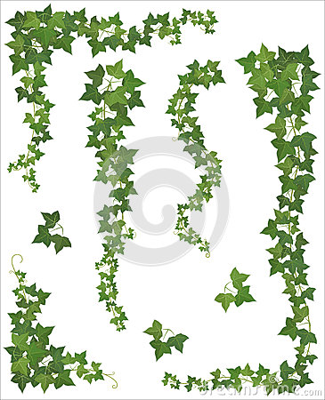 Free Set Of Hanging Branches Of Ivy On A White Background Stock Photos - 46525233