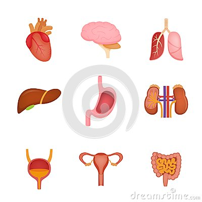 Free Set Of Human Internal Organs Including Brain, Heart, Liver, Spleen, Kidneys, Reproductive System, Urinary. Stock Image - 116665611