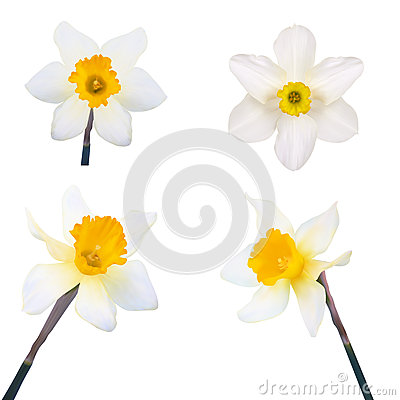 Free Set Of Jonquil Flower. Stock Photography - 40981322