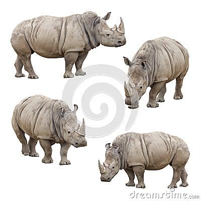 Free Set Of Rhinoceros Isolated On A White Background Stock Photo - 29941050