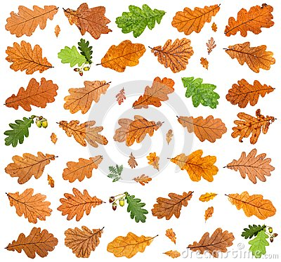 Free Set Of Various Leaves Of Oak Trees Isolated Royalty Free Stock Photography - 114391227