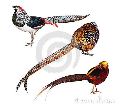 Set of Pheasant birds. Isolated over white